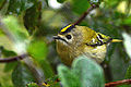 Goldcrest in Bush (10781745043).jpg