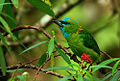 Golden-naped Barbet.jpg