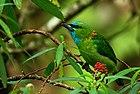 Фотография зеленой птицы с пятнами синего цвета на голове и золотом на шее, сидящей в густой растительности.