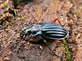 Golden Ground Beetle (Chrysocarabus auronitens) (8337482913).jpg
