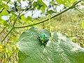 Golden beetle.jpg