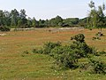 Gorley Common, New Forest - geograph.org.uk - 186510.jpg