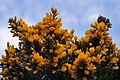 Gorse by the Railway line - geograph.org.uk - 747260.jpg