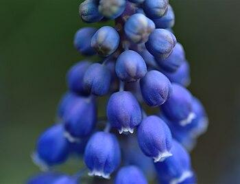GrapeHyacinth-JAM