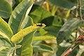 Grasshopper on milkweed (15144618267).jpg