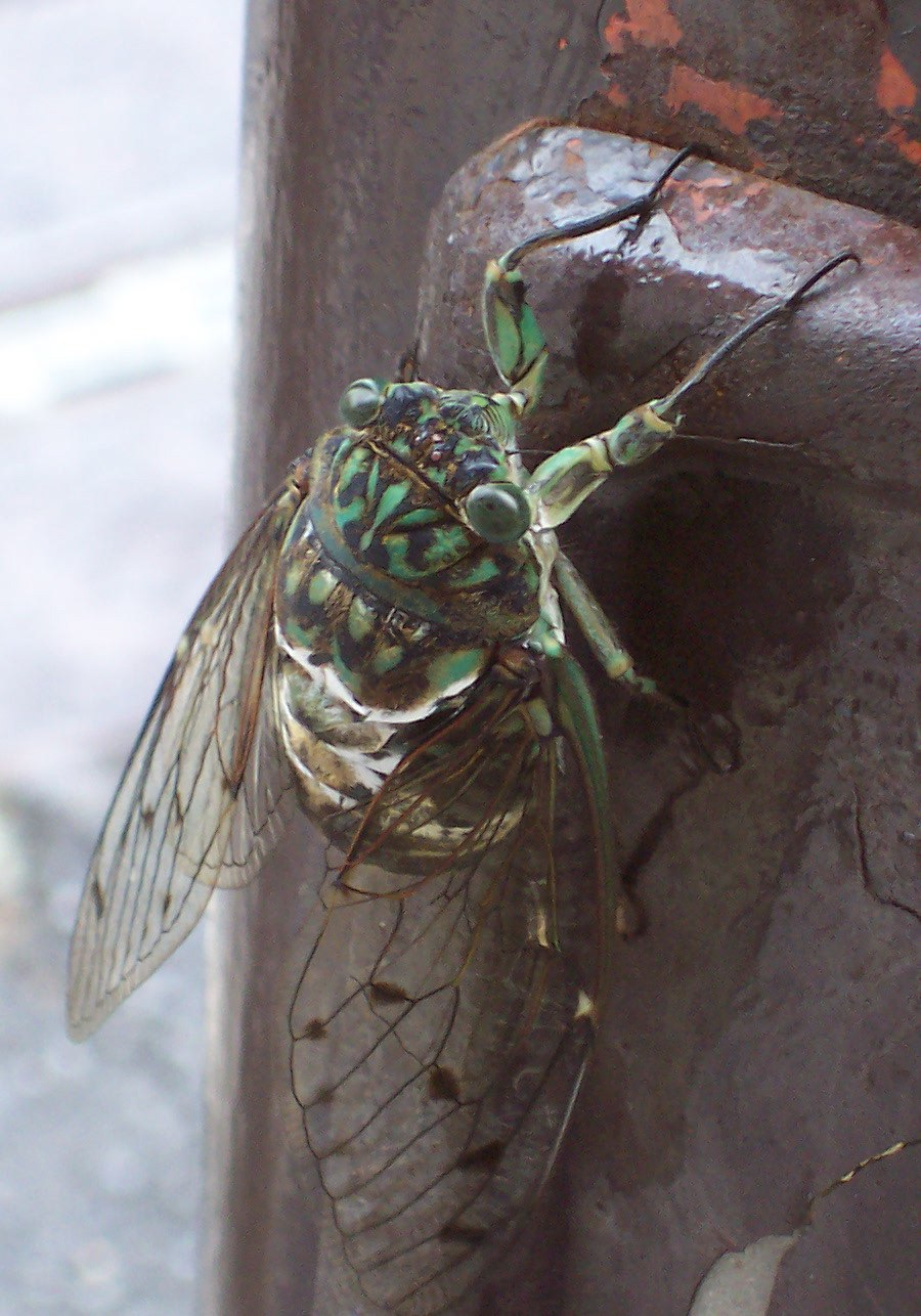 Gratopsaltria Nigrofuscata Young
