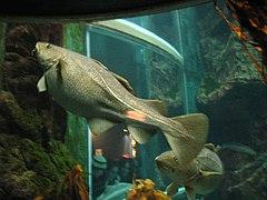 Gravid female cod