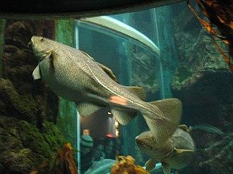 Atlantic cod - Image: Gravid female cod