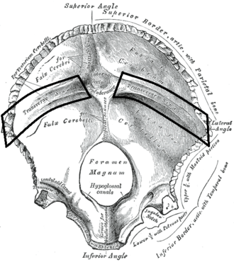 Groove for transverse sinus - Interior surface of Occipital bone. (Groove for transverse sinus runs laterally on either side of the internal occipital protuberance.)