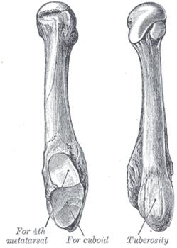 1 плюсневая кость стопы