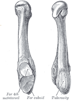 Fifth Metatarsal Bone Wikipedia