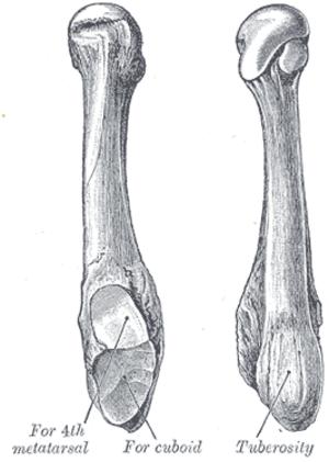 Fifth metatarsal bone - The fifth metatarsal. (Left.)
