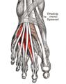Gray437-Musculus extensor digitorum brevis.png