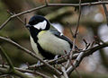 Great Tit 2 (3263597802).jpg
