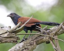Greater Coucal (Centropus sinensis) - Flickr - Lip Kee (2).jpg