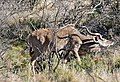 Greater Kudu (Tragelaphus strepsiceros) (32495297972).jpg