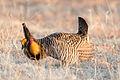 Greater Prairie Chicken (Tympanuchus cupido) (20351644665).jpg