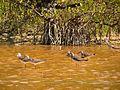 Greater Yellowlegs - Flickr - treegrow (4).jpg