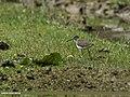 Green Sandpiper (Tringa ochropus) (28491109833).jpg