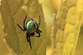 Green orb spider (Araniella cucurbitina) on leaf.jpg