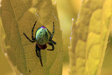 Green orb spider (Araniella cucurbitina) on leaf.jpg