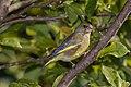 Greenfinch Chloris chloris-0191.jpg