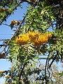 Grevillea robusta (4).jpg