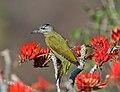 Grey-headed Woodpecker - Flickr - Koshyk.jpg