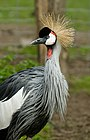 Grey Crowned Crane at Zoo Copenhagen.jpg