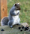Grey Squirrel, Back Porch 0001 (4139384274).jpg