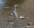 Grey heron in Aveyron River 02.jpg