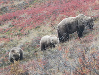 Foraging - Grizzly bear (Ursus arctos horribilis) mother and cubs foraging in Denali National Park, Alaska.