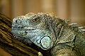 Gruener Leguan Portrait Zoo KA DSC 6584.jpg