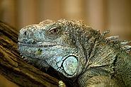 Gruener Leguan Portrait Zoo KA DSC 6584