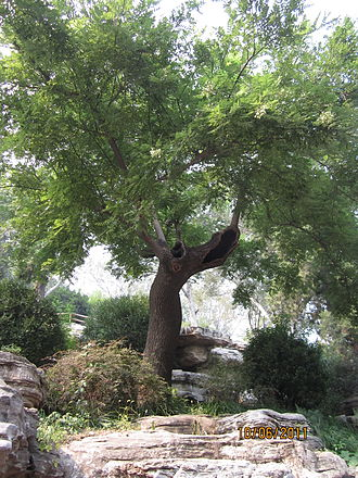 Chongzhen Emperor - A modern replacement of the tree from which the Chongzhen Emperor was said to have hanged himself