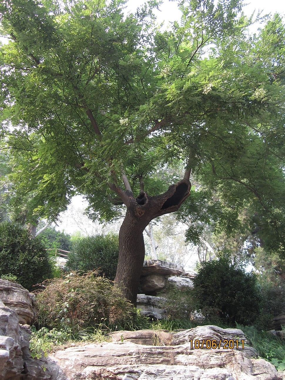 Guiltyscholartree
