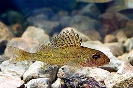 Что за рыба – рыба ёрш?