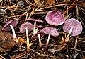 Gymnopus iocephalus (Berk. & M.A. Curtis) Halling 445156.jpg