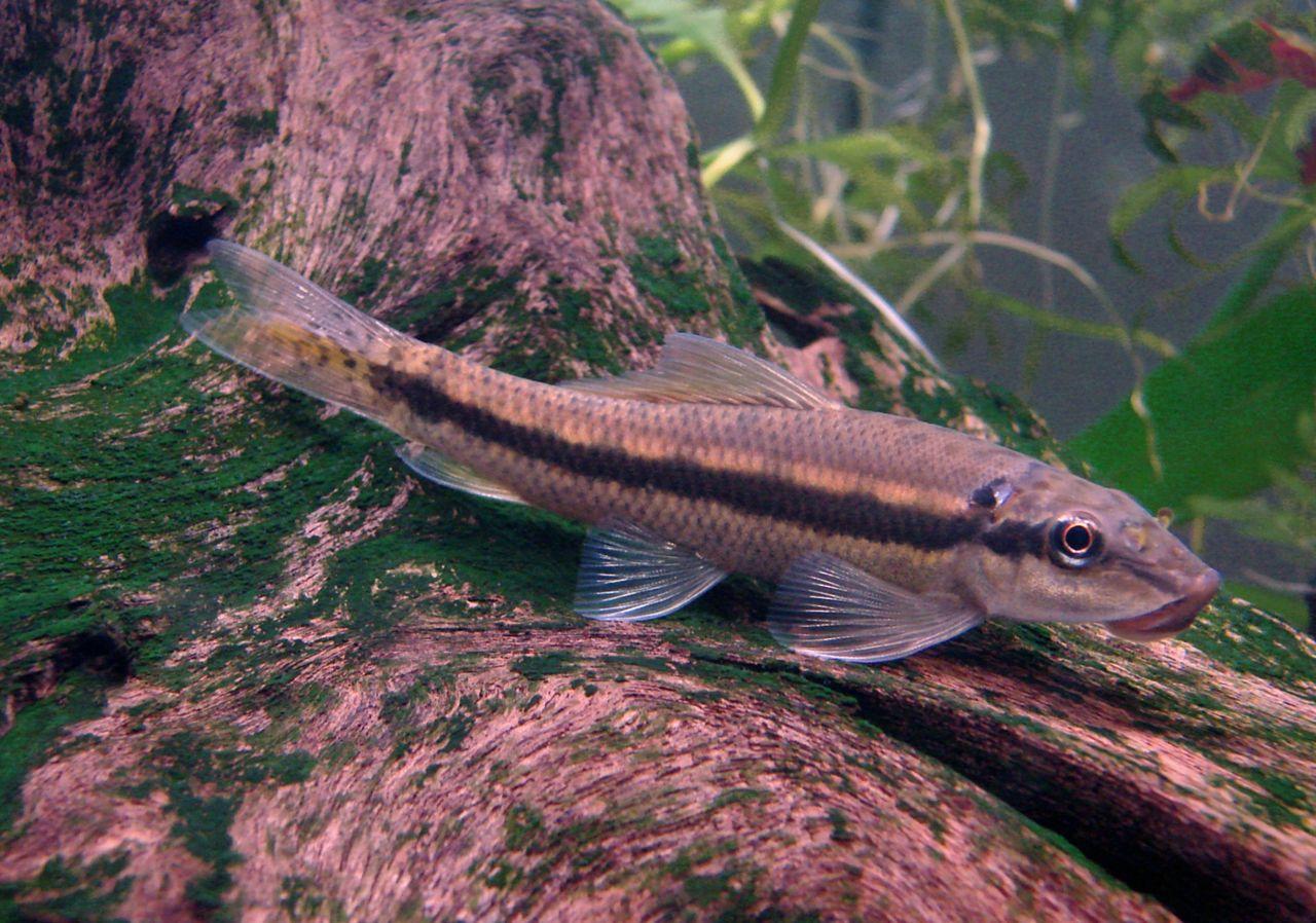 File:Gyrinocheilus (Chinese Algae Eater) in Aquarium.jpg - Wikimedia ...
