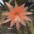 H20140106—0244—Unknown Epiphyllum (11807873485).jpg