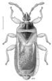 HEMI Aradidae Isodermus crassicornis.png