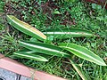 HK Mid-levels High Street clubhouse green leaves plant February 2019 SSG 53.jpg