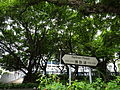HK TST Nathan Road green Sidewalk Chinese Banyan trees Aug-2015 DSC (23).JPG
