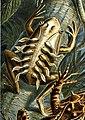 Haeckel Batrachia L lineatus.jpg