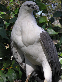 White-bellied sea eagle large diurnal bird of prey