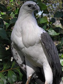 Elang Laut Dada Putih Wikipedia Bahasa Indonesia Ensiklopedia Bebas
