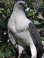 Haliaeetus leucogaster -Gippsland, Victoria, Australia-8.jpg
