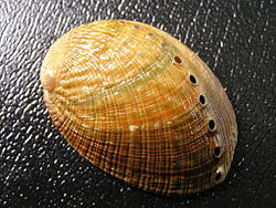 Dorsal view of a shell of H. walallensis