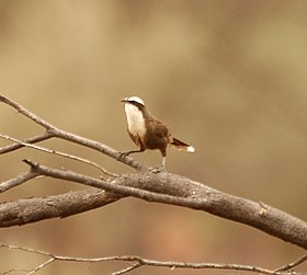 Hall's Babbler2 bowra nov05.jpg