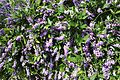 Hardenbergia comptoniana trellis.jpg